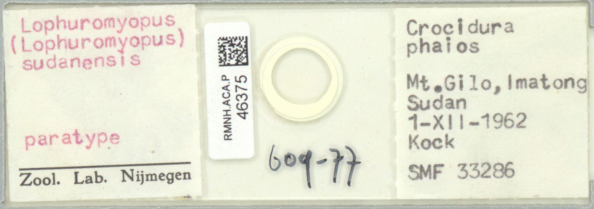 RMNH.ACA.P.46375 | Lophuromyopus (Lophuromyopus) sudanensis