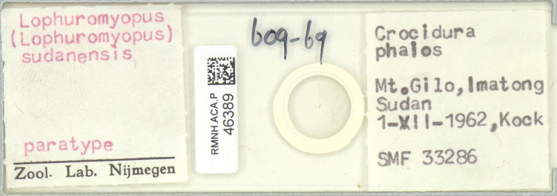 RMNH.ACA.P.46389 | Lophuyromyopus (Lophuromyopus) sudanensis
