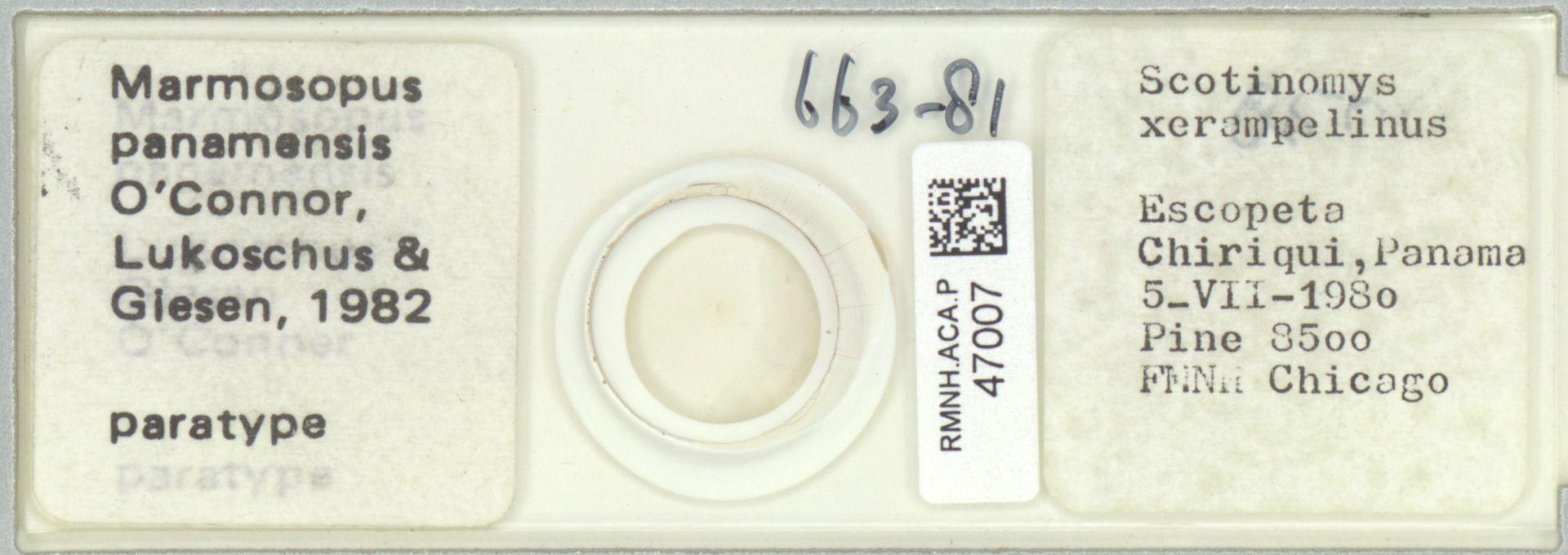RMNH.ACA.P.47007   Marmosopus panamensis O'Connor, Lukoschus & Giesen, 1982
