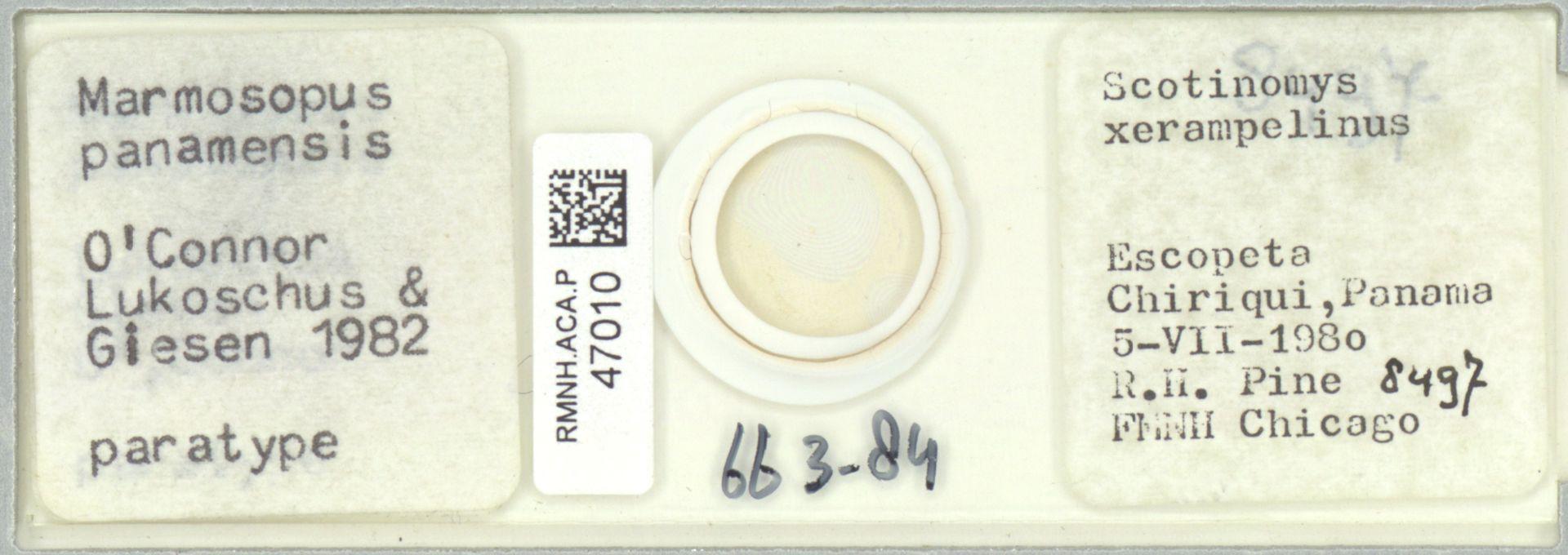 RMNH.ACA.P.47010 | Marmosopus panamensis O'Connor Lukoschus & Giesen 1982