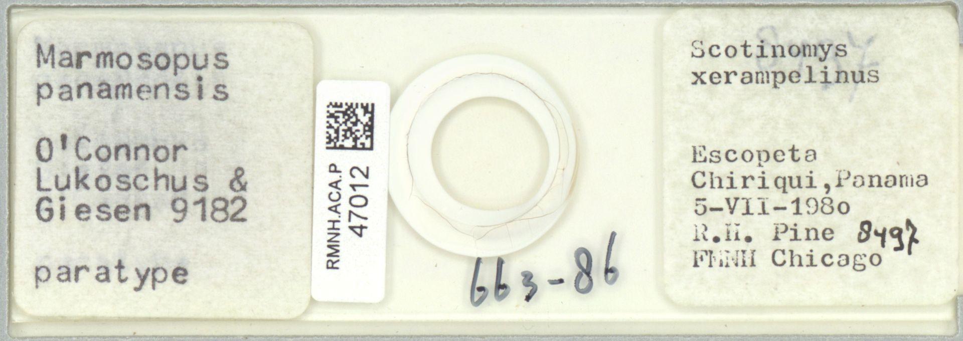 RMNH.ACA.P.47012 | Marmosopus panamensis O'Connor Lukoschus & Giesen 9182