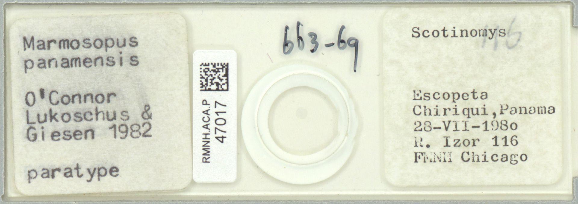 RMNH.ACA.P.47017 | Marmosopus panamensis O'Connor, Lukoschus & Giesen 1982