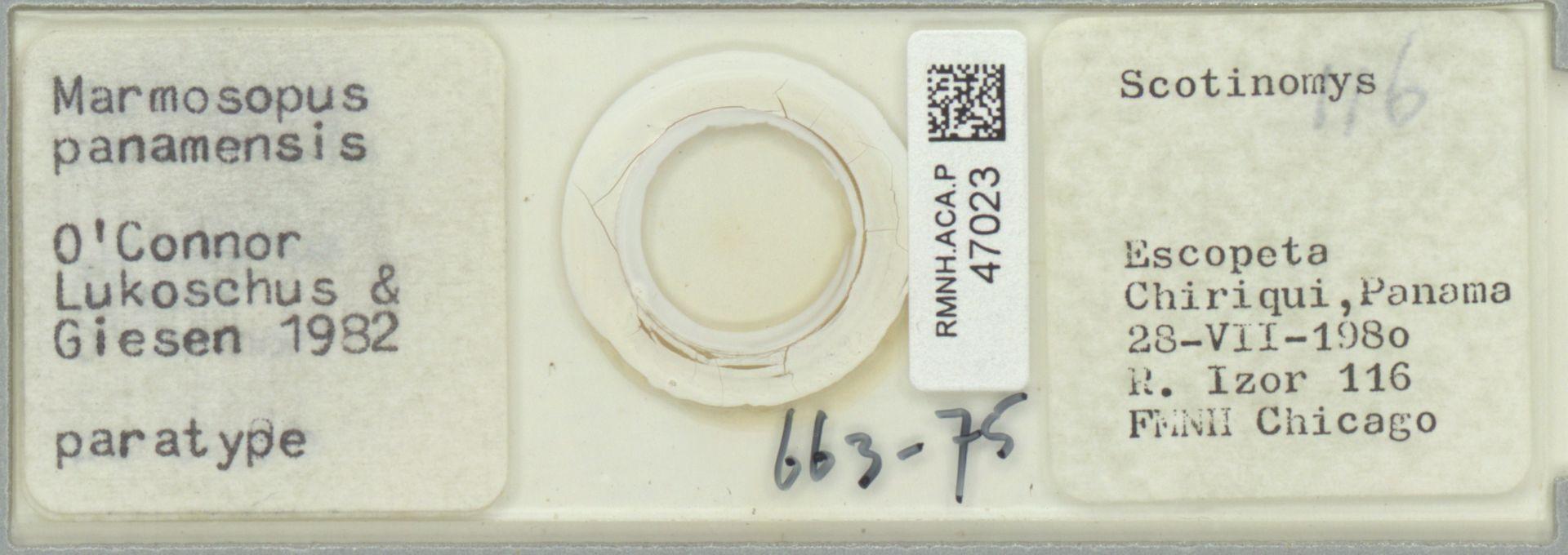 RMNH.ACA.P.47023 | Marmosopus panamensis O'Connor Lukoschus & Giesen 1982