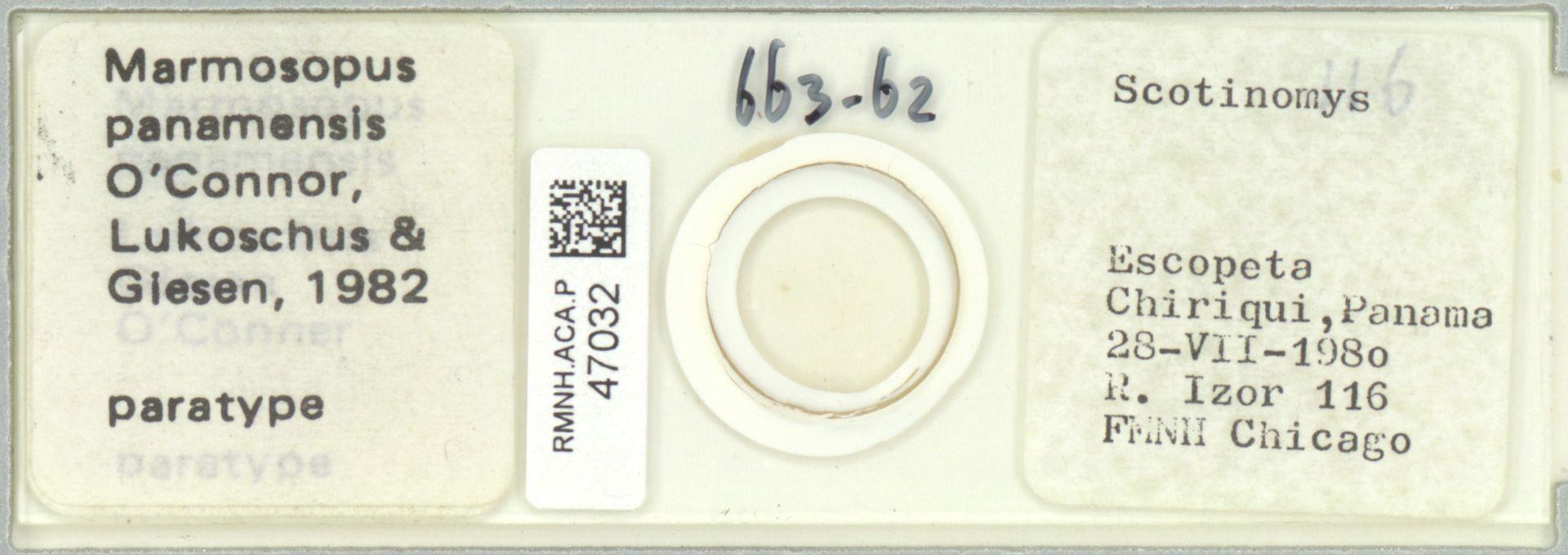 RMNH.ACA.P.47032 | Marmosopus panamensis O'Connor, Lukoschus & Giesen, 1982