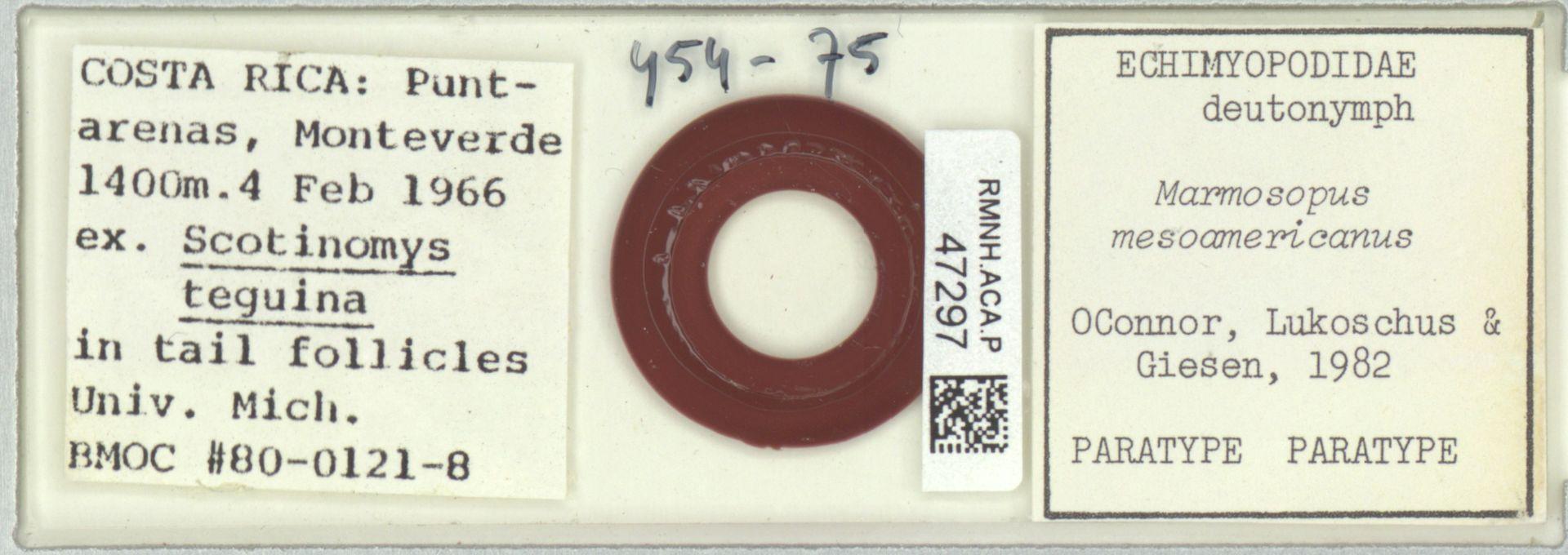 RMNH.ACA.P.47297 | Echimyopodidae;Marmosopus mesoamericanus OConnor, Lukoschus & Giesen, 1982 OConnor, Lukoschus & Giesen, 1982