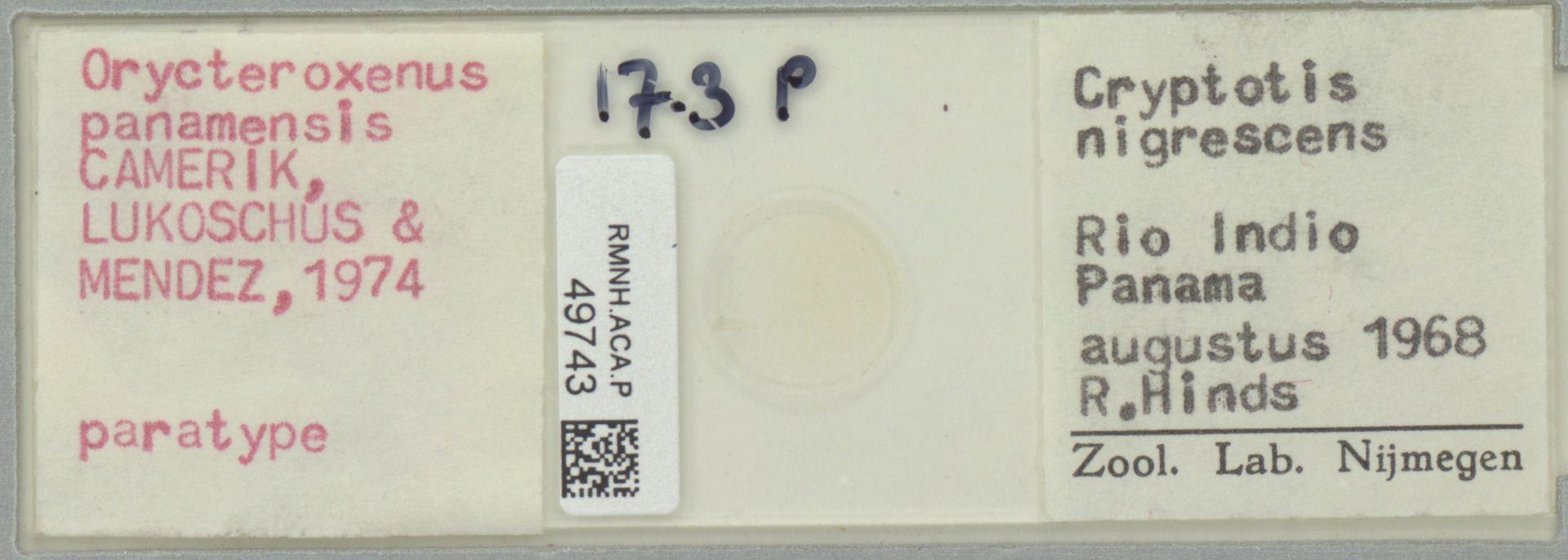 RMNH.ACA.P.49743   Orycteroxenus panamensis Camerik, Lukoschus & Mendez, 1974