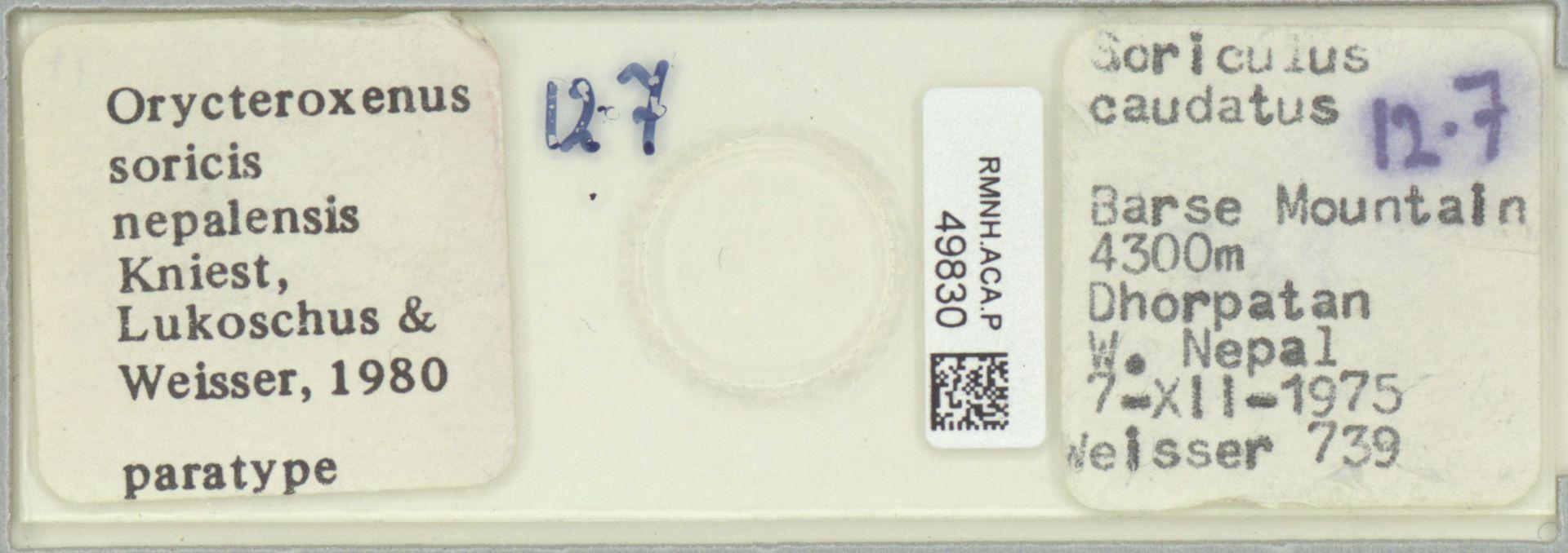 RMNH.ACA.P.49830   Orycteroxenus soricis nepalensis Kniest, Lukoschus & Weisser 1980
