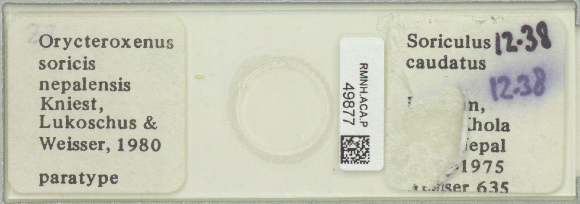 RMNH.ACA.P.49877 | Orycteroxenus soricis nepalensis Kniest, Lukoschus & Weisser, 1980