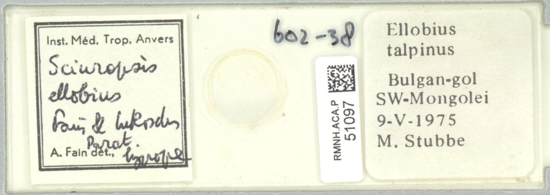 RMNH.ACA.P.51097 | Sciuropsis ellobius Fain & Lukoschus
