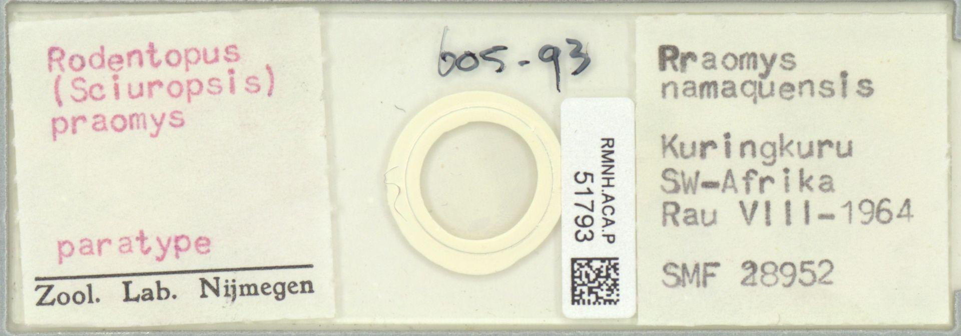 RMNH.ACA.P.51793   Rodentopus (Sciuropsis) praomys