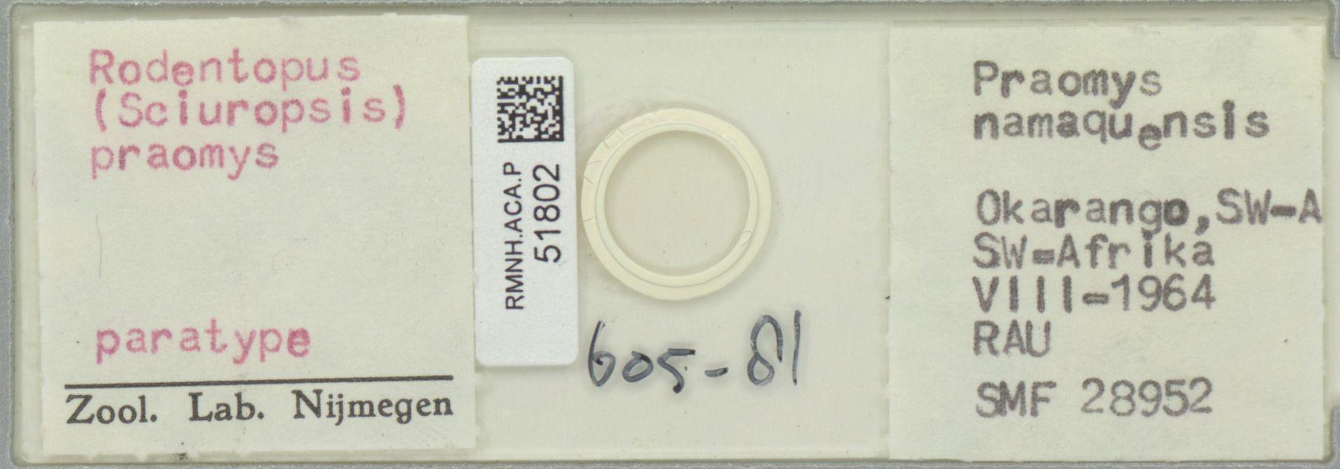 RMNH.ACA.P.51802 | Rodentopus (Sciuropsis) praomys