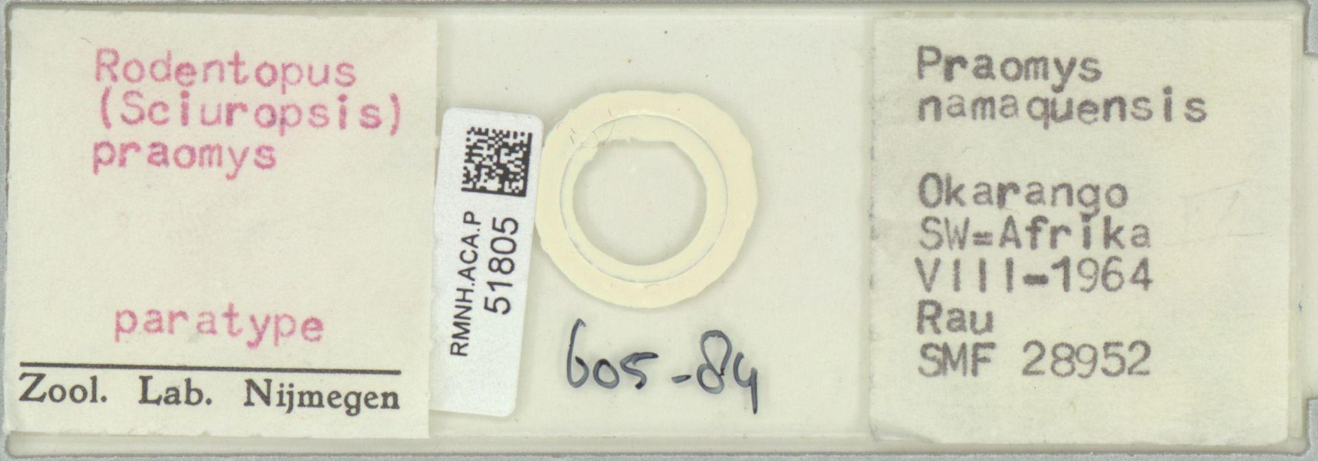 RMNH.ACA.P.51805 | Rodentopus (Sciuropsis) praomys
