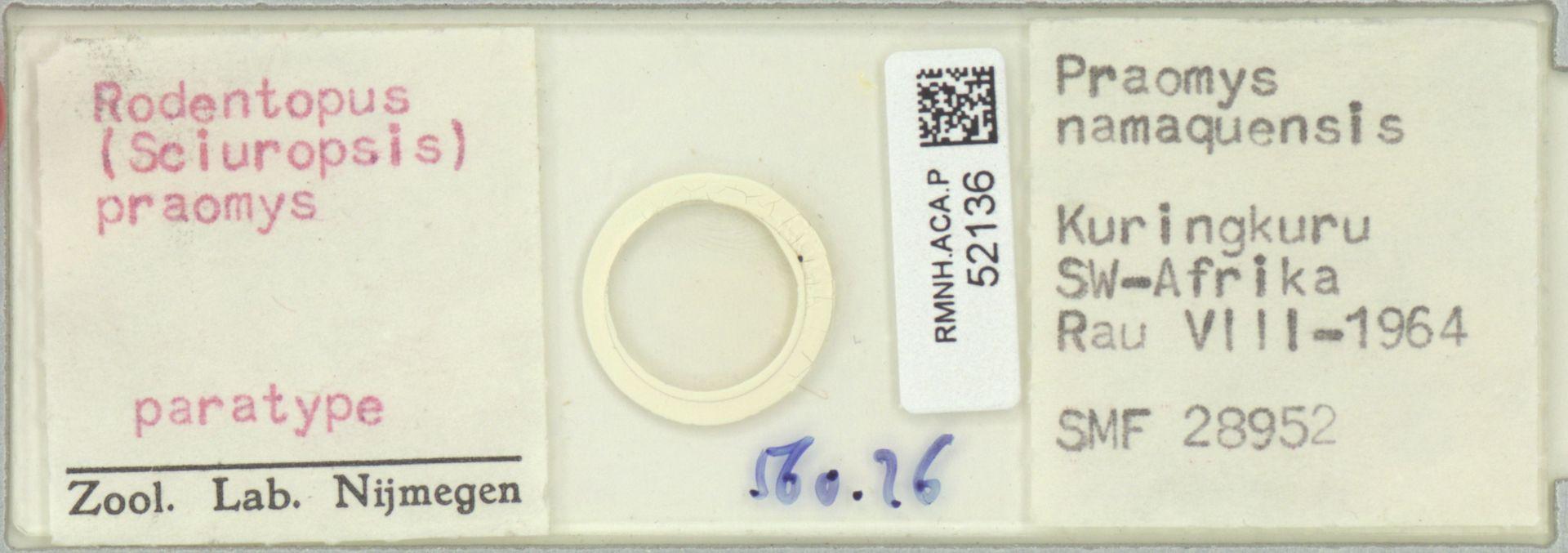 RMNH.ACA.P.52136 | Rodentopus (Sciuropsis) praomys