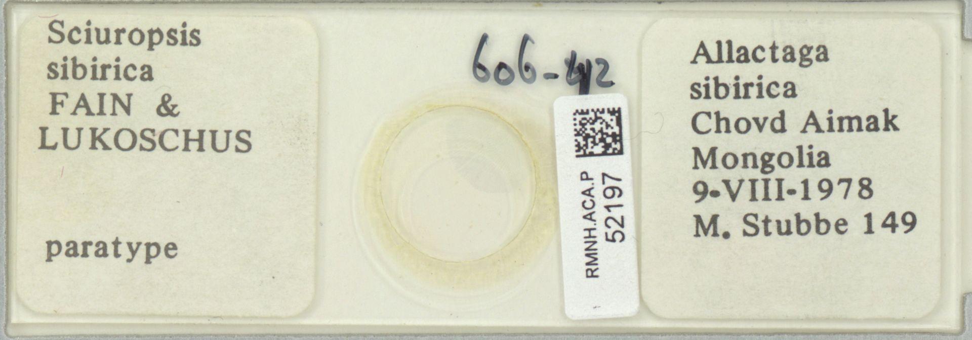 RMNH.ACA.P.52197   Sciuropsis sibirica Fain & Lukoschus