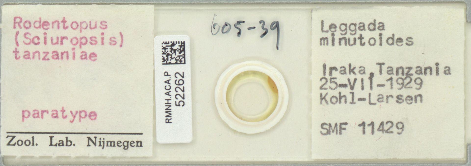 RMNH.ACA.P.52262 | Rodentopus (Sciuropsis) tanzaniae