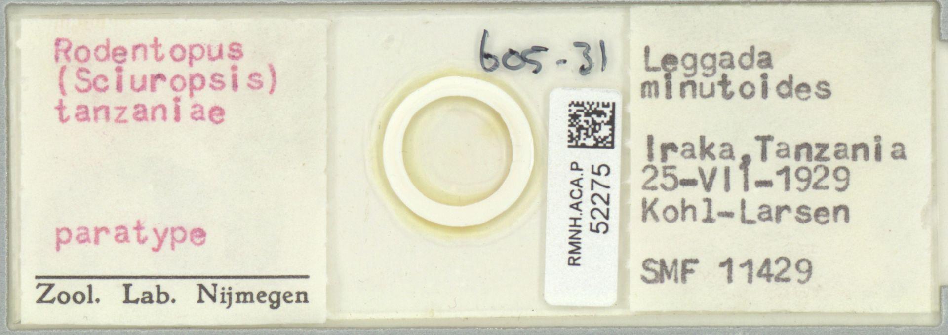 RMNH.ACA.P.52275 | Rodentopus (Sciuropsis) tanzaniae