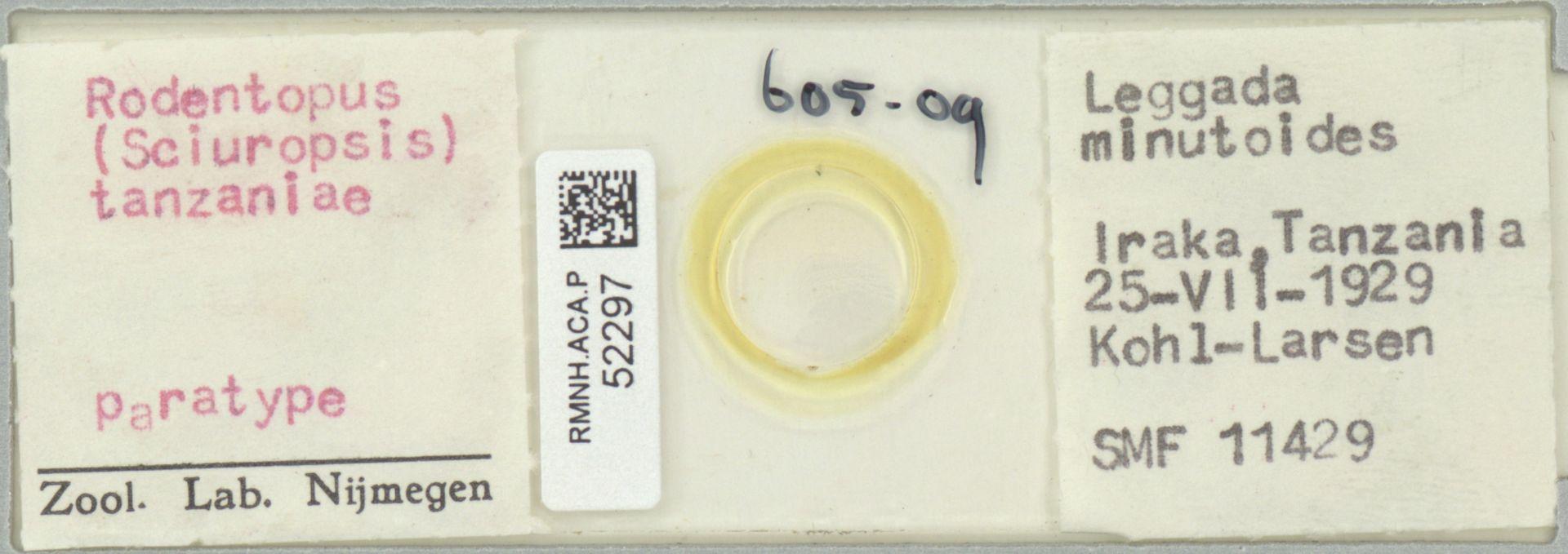 RMNH.ACA.P.52297 | Rodentopus (Sciuropsis) tanzaniae