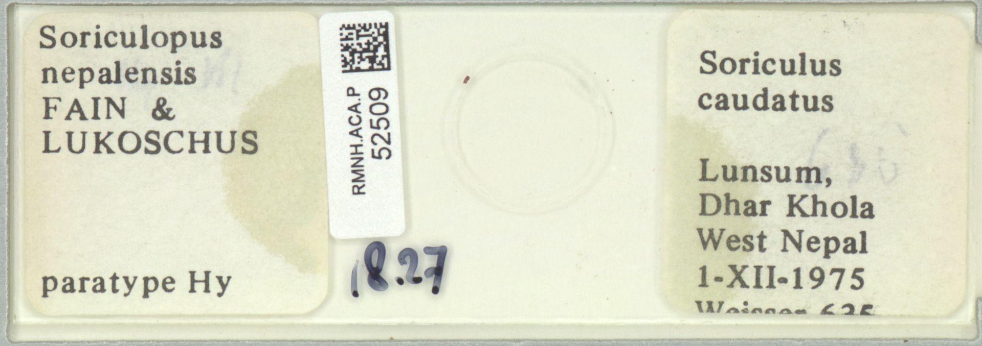 RMNH.ACA.P.52509 | Soriculopus nepalensis FAIN & LUKOSCHUS