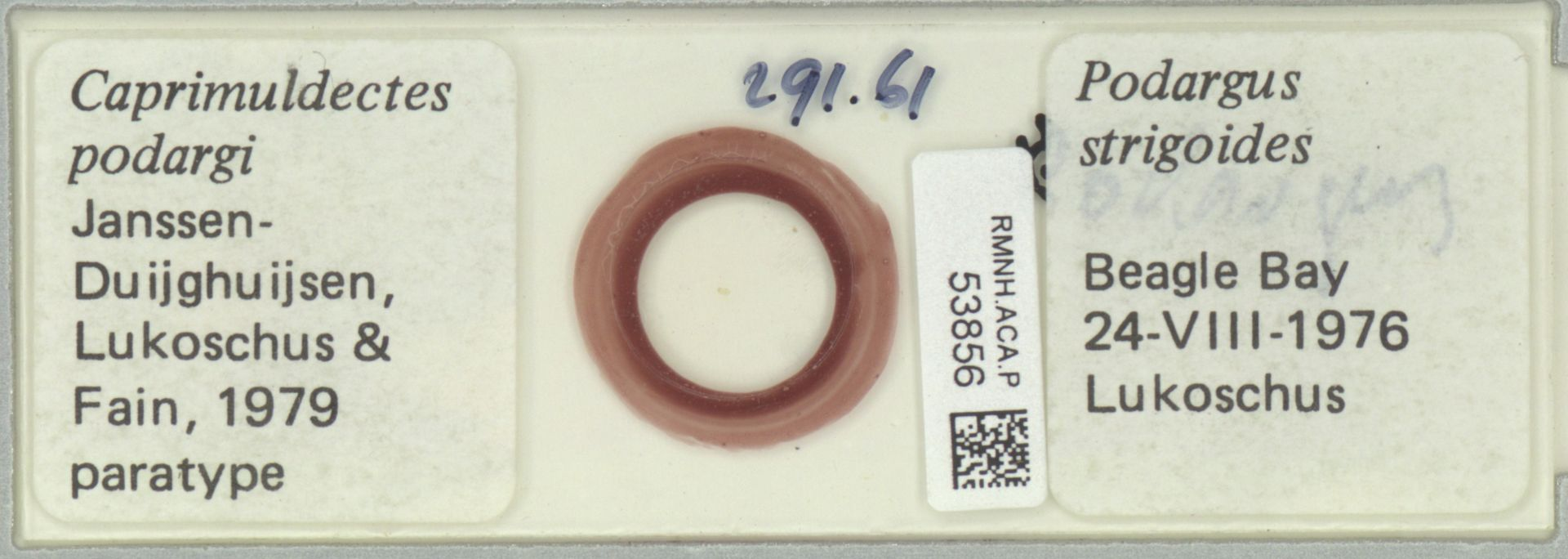 RMNH.ACA.P.53856 | Caprimuldectes podargi Janssen-Duijghuijsen, Lukoschus & Fain, 1979