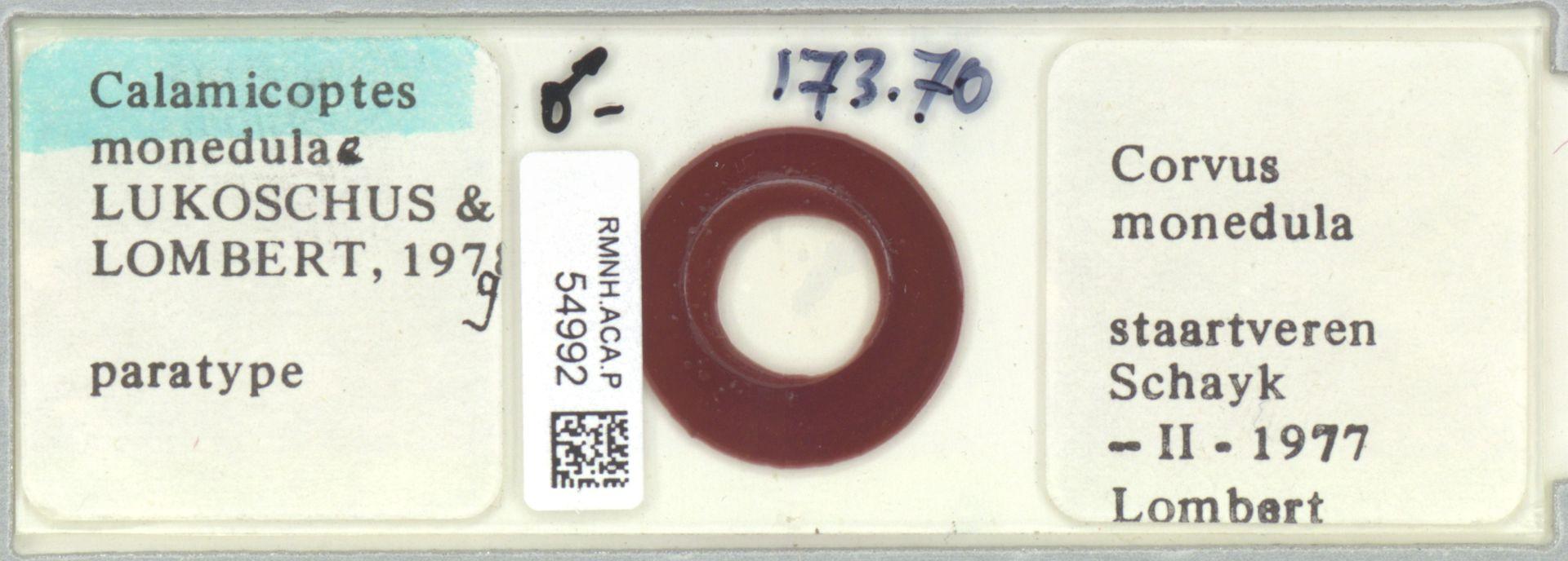 RMNH.ACA.P.54992 | Calamicoptes monedulae Lukoschus & Lombert, 1979