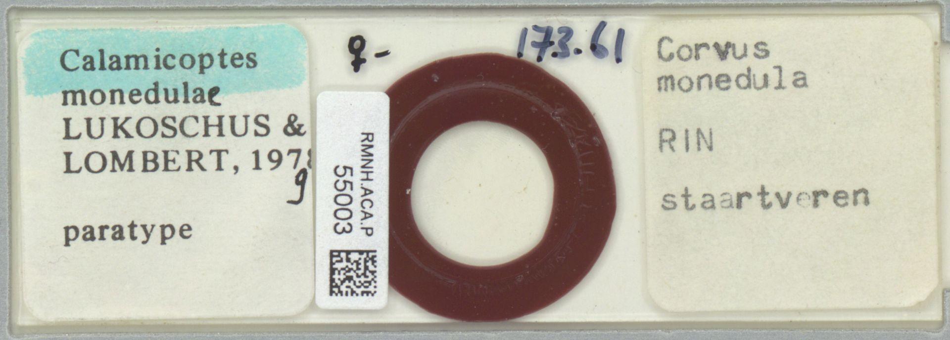 RMNH.ACA.P.55003 | Calamicoptes monedulae Lukoschus & Lombert, 1979