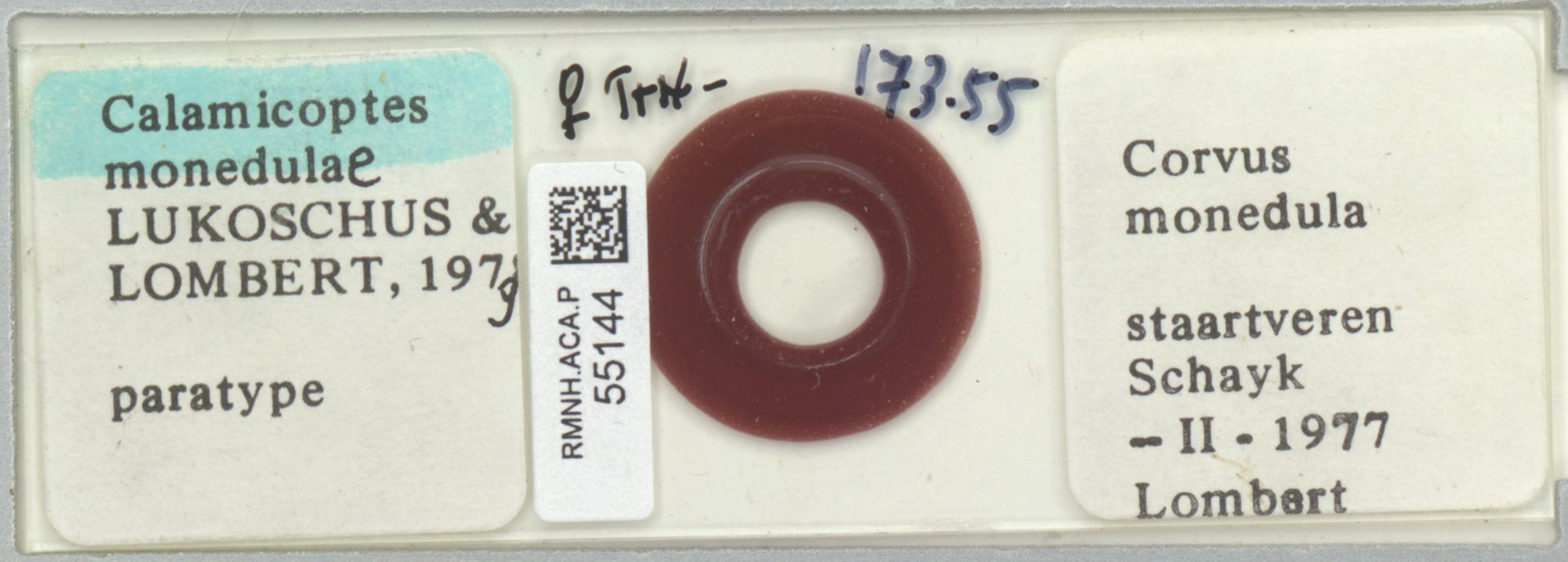 RMNH.ACA.P.55144 | Calamicoptes monedulae Lukoschus & Lombert 1979