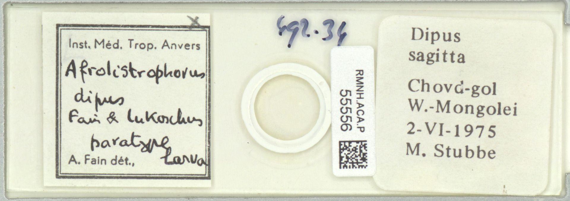 RMNH.ACA.P.55556 | Afrolistrophorus dipus Fain & Lukoschus