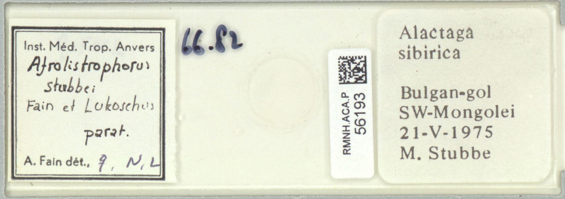 RMNH.ACA.P.56193 | Afrolistrophorus stubbei Fain et Lukoschus