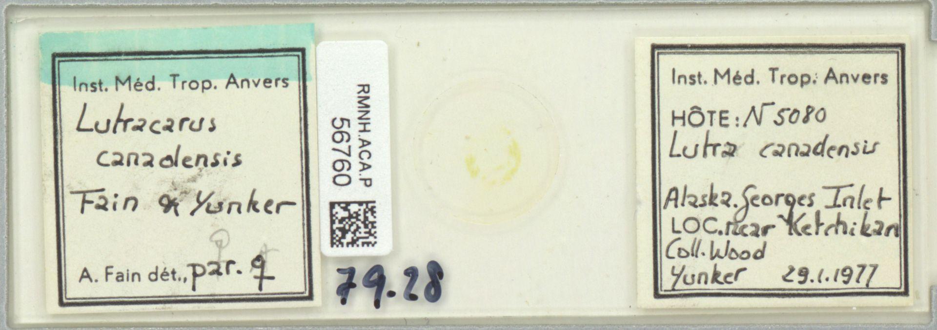 RMNH.ACA.P.56760 | Lutracarus canadensis Fain & Yunker