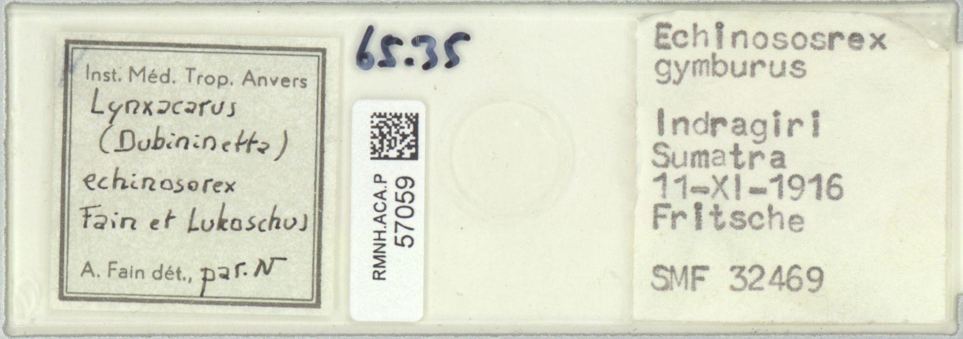 RMNH.ACA.P.57059   Lynxacarus (Dubininetta) echinosorex Fain et Lukoschus