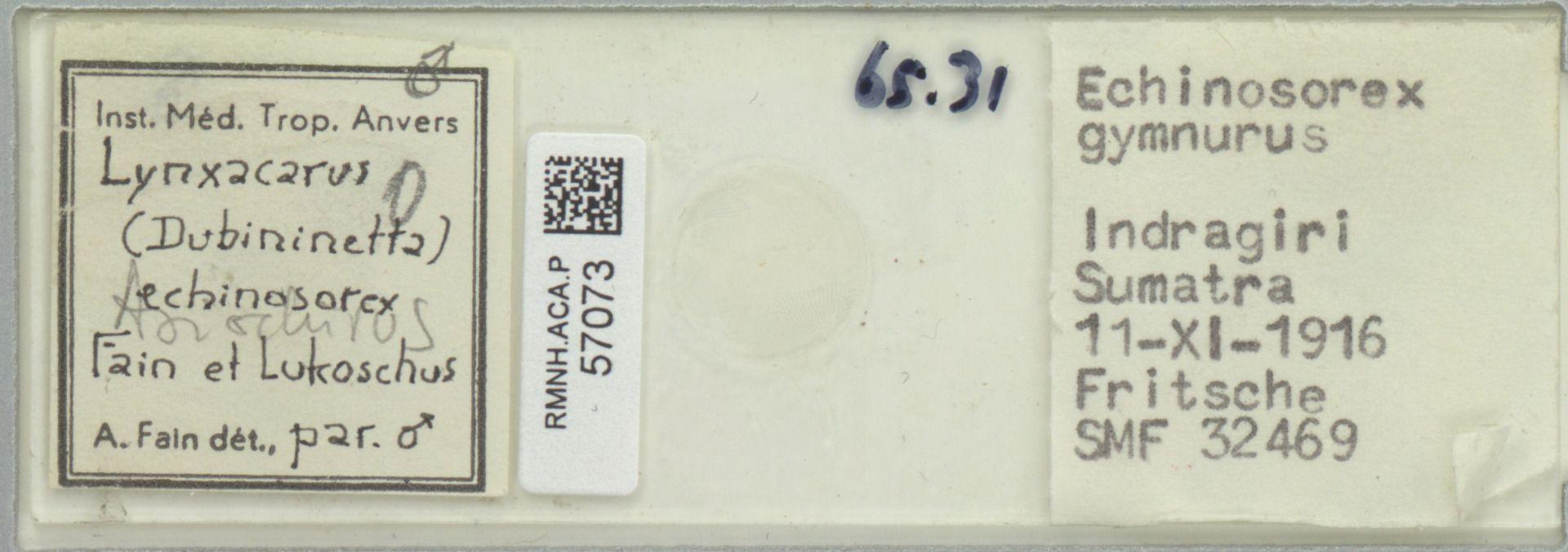 RMNH.ACA.P.57073 | Lynxacarus (Dubininetta) echinosorex Fain et Lukoschus