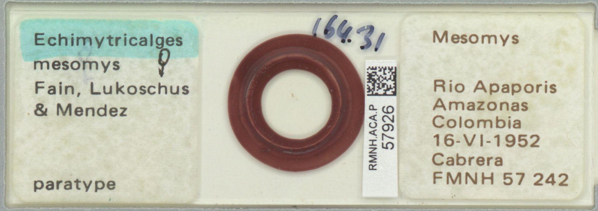 RMNH.ACA.P.57926 | Echimytricalges mesomys Fain, Lukoschus & Mendez
