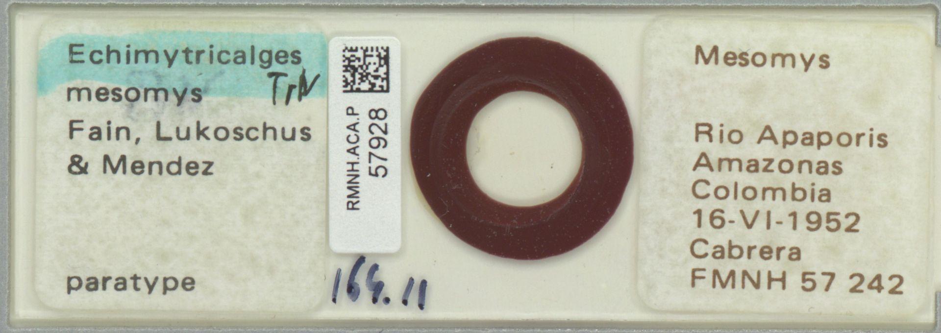 RMNH.ACA.P.57928 | Echimytricalges mesomys Fain, Lukoschus & Mendez
