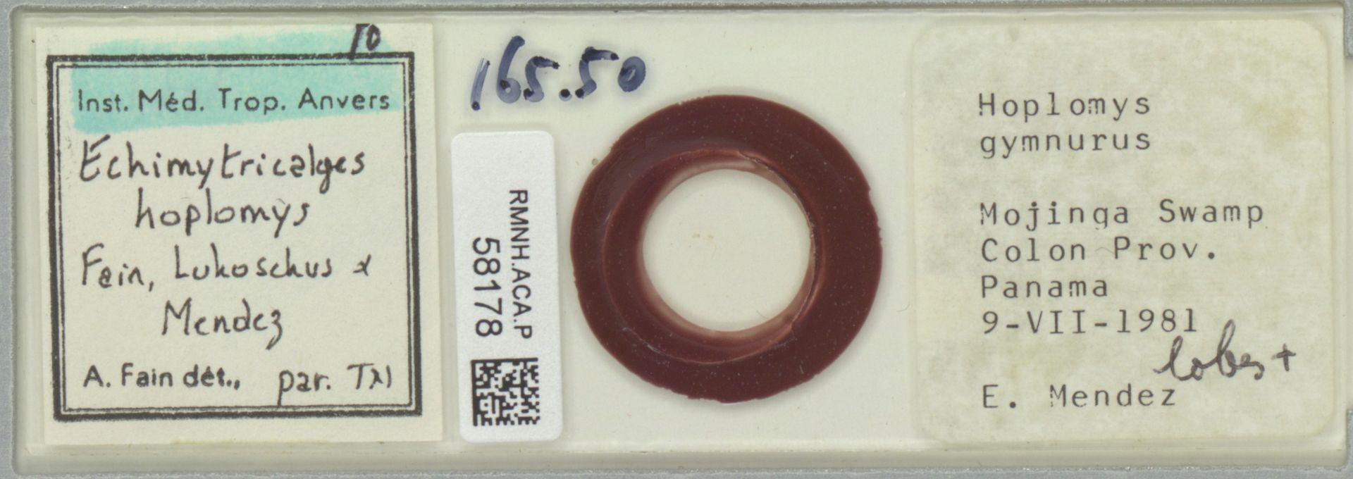 RMNH.ACA.P.58178 | Echimytricalges hoplomys Fain, Lukoschus & Mendez