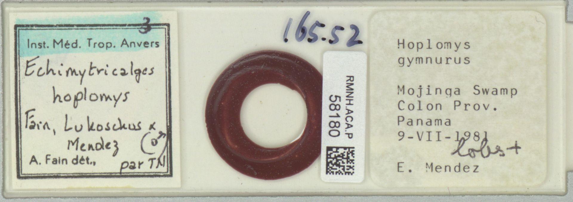 RMNH.ACA.P.58180 | Echimytricalges hoplomys Fain, Lukoschus & Mendez