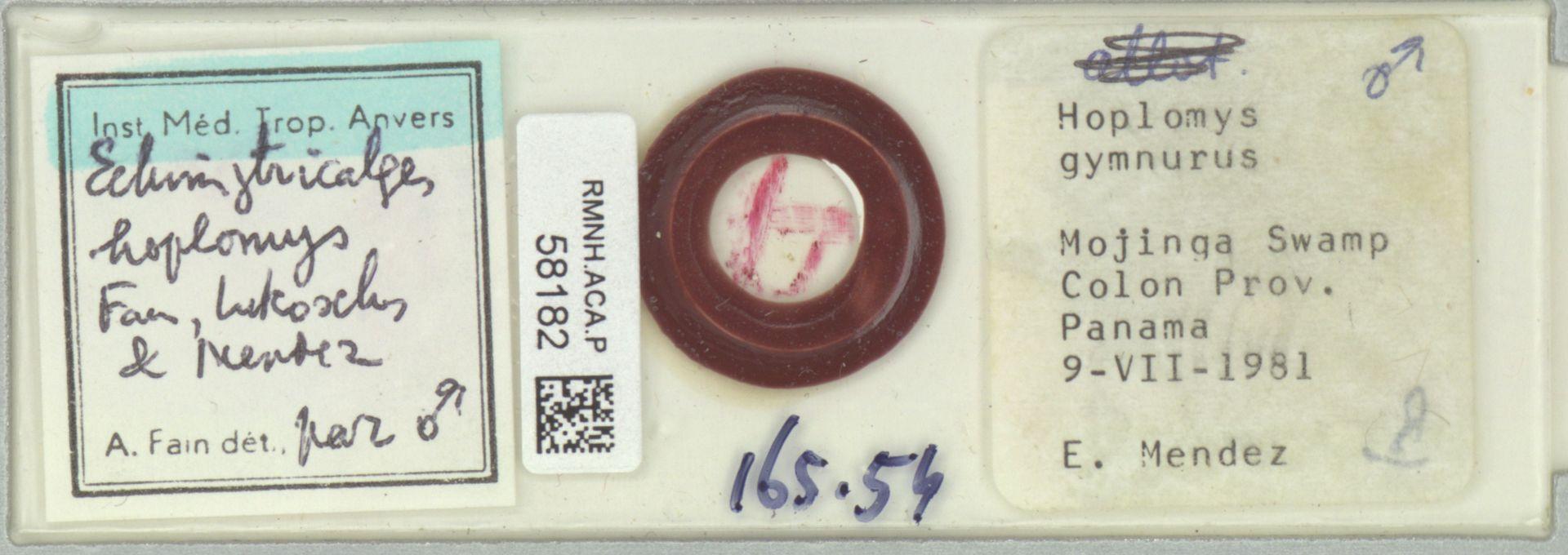 RMNH.ACA.P.58182 | Echimytricalges hoplomys Fain, Lukoschus & Mendez