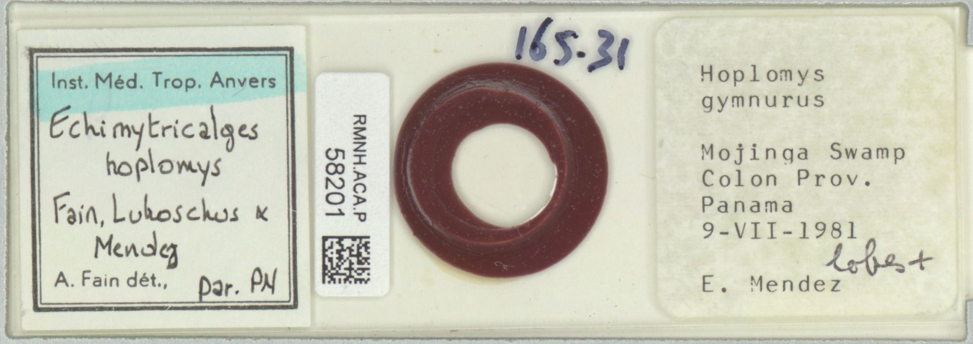 RMNH.ACA.P.58201 | Echimytricalges hoplomys Fain, Lukoschus & Mendez
