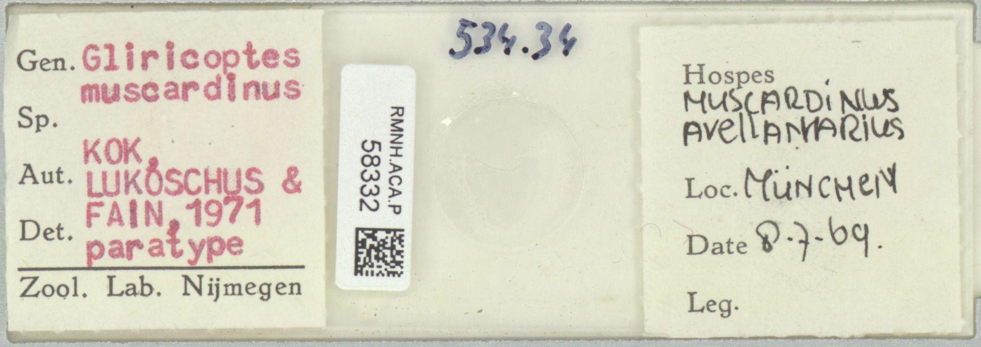 RMNH.ACA.P.58332   Gliricoptes muscardinus Kok, Lukoschus & Fain 1971