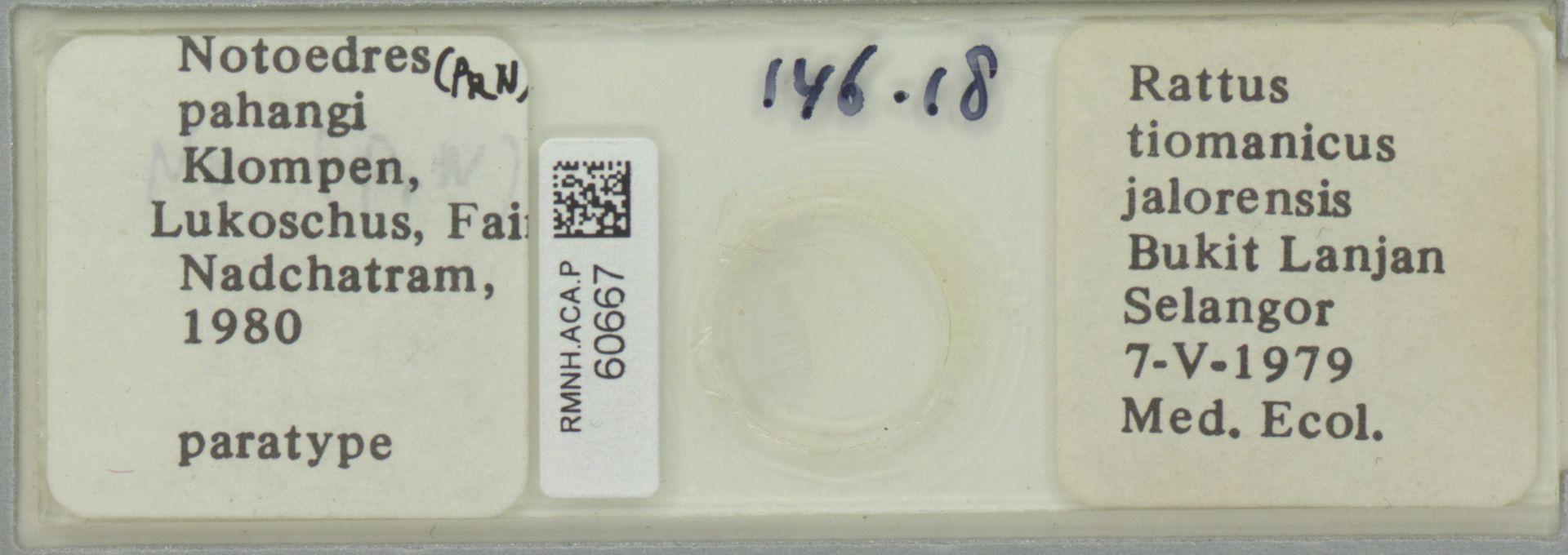 RMNH.ACA.P.60667 | Notoedres pahangi Klompen, Lukoschus, Fain & Nadchatram, 1980