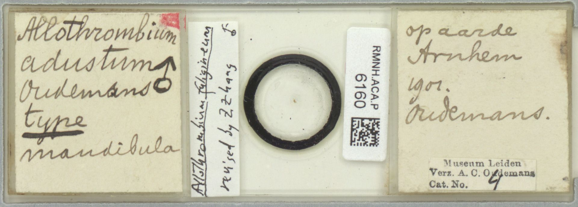 RMNH.ACA.P.6160 | Allothrombium fuligineum