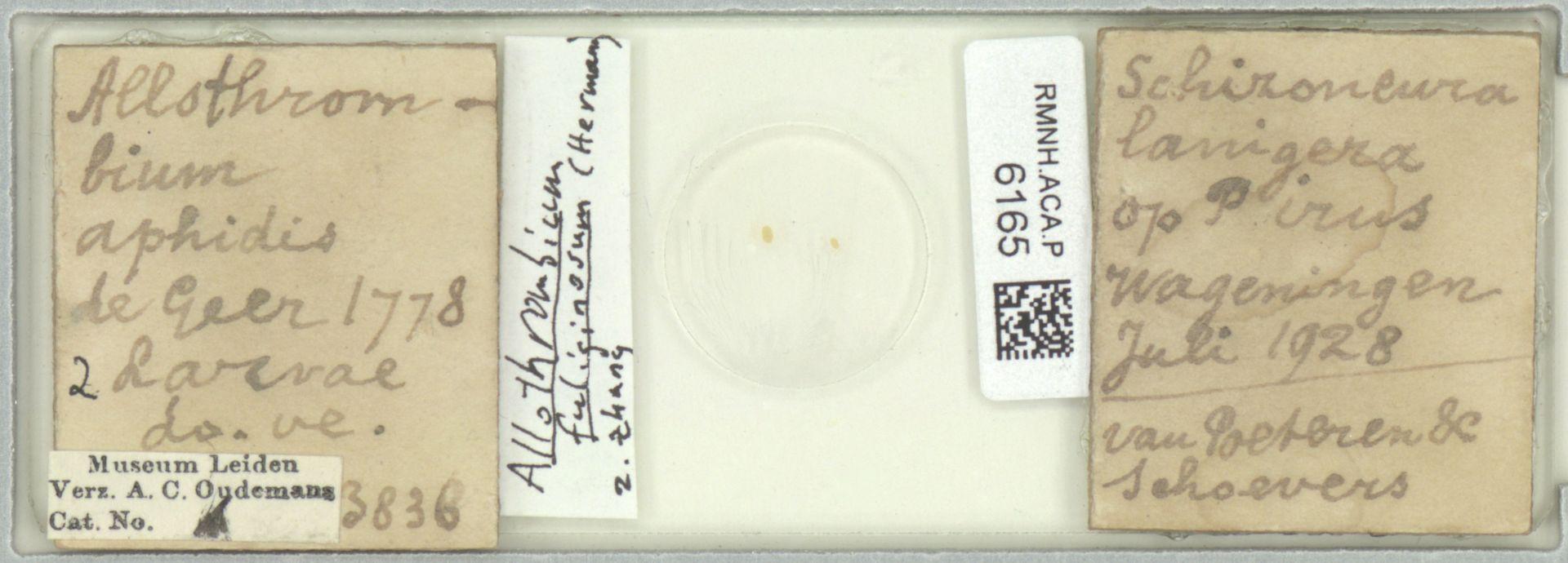 RMNH.ACA.P.6165 | Allothrombium fuliginosum