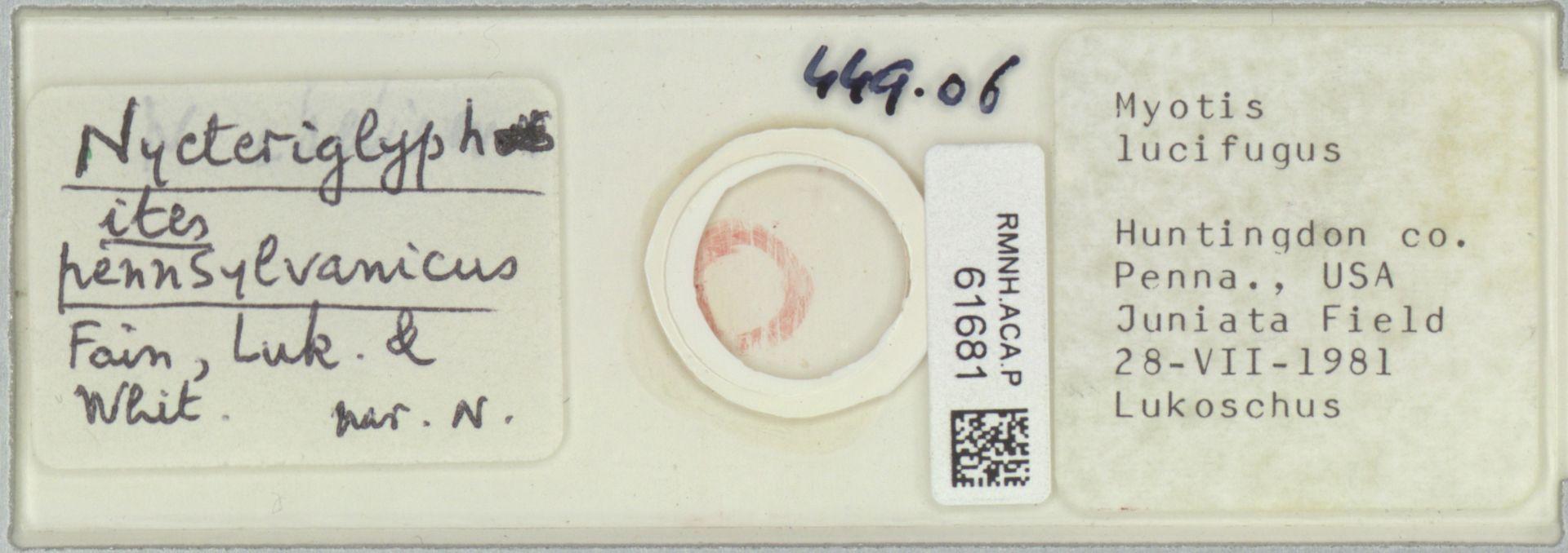RMNH.ACA.P.61681   Nycteriglyphites pennsylvanicus Fain, Luk. & Whit.