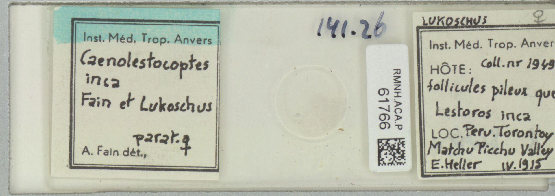 RMNH.ACA.P.61766 | Caenolestocoptes inca Fain & Lukoschus