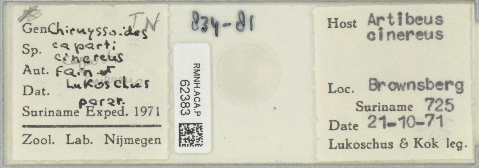 RMNH.ACA.P.62383 | Chirnyssoides caparti cinereus Fain & Lukoschus