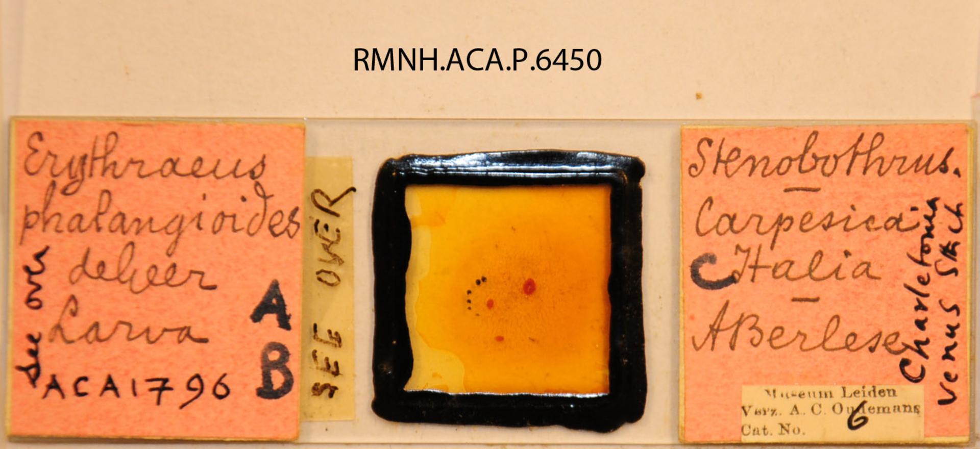 RMNH.ACA.P.6450 | Charletonia venus Southcutt, 1966