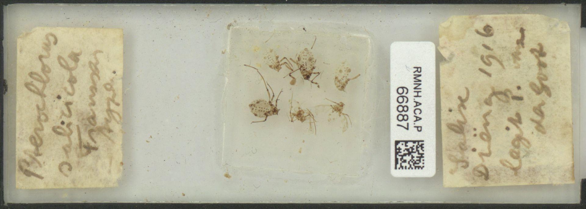 RMNH.ACA.P.66887 | Pterochlorus salicicola Franssen