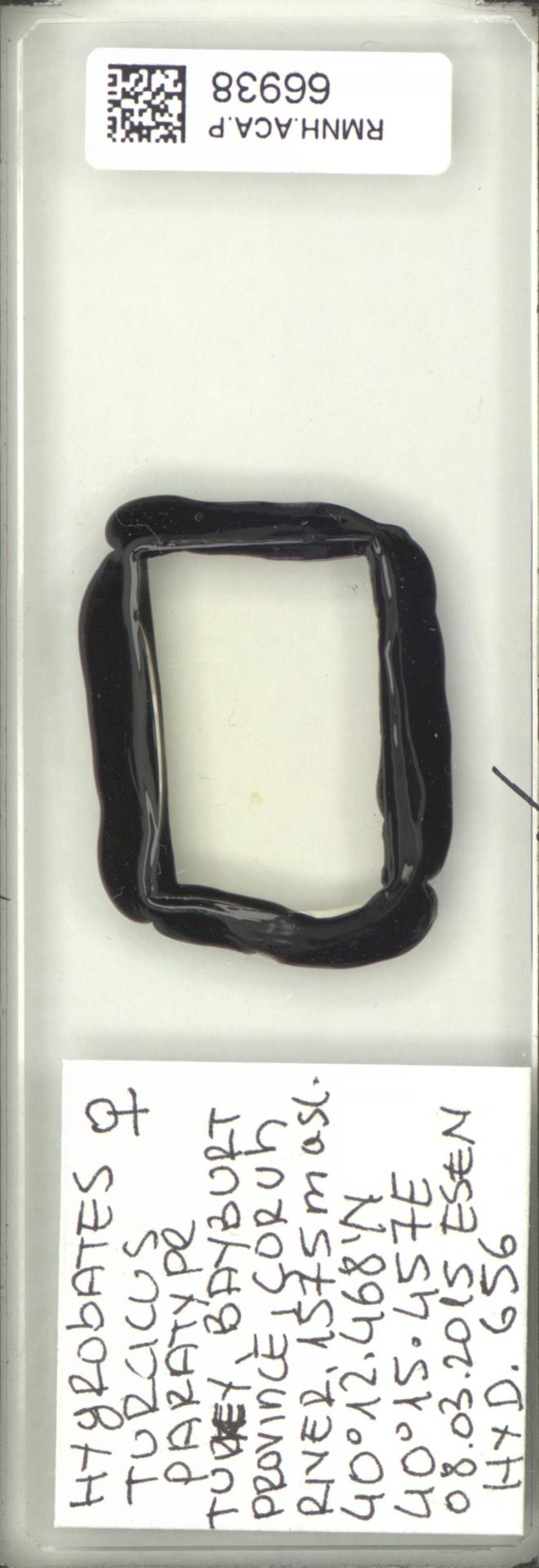 RMNH.ACA.P.66938 | Hygrobates turcicus Pesic, Esen & Dabert 2017
