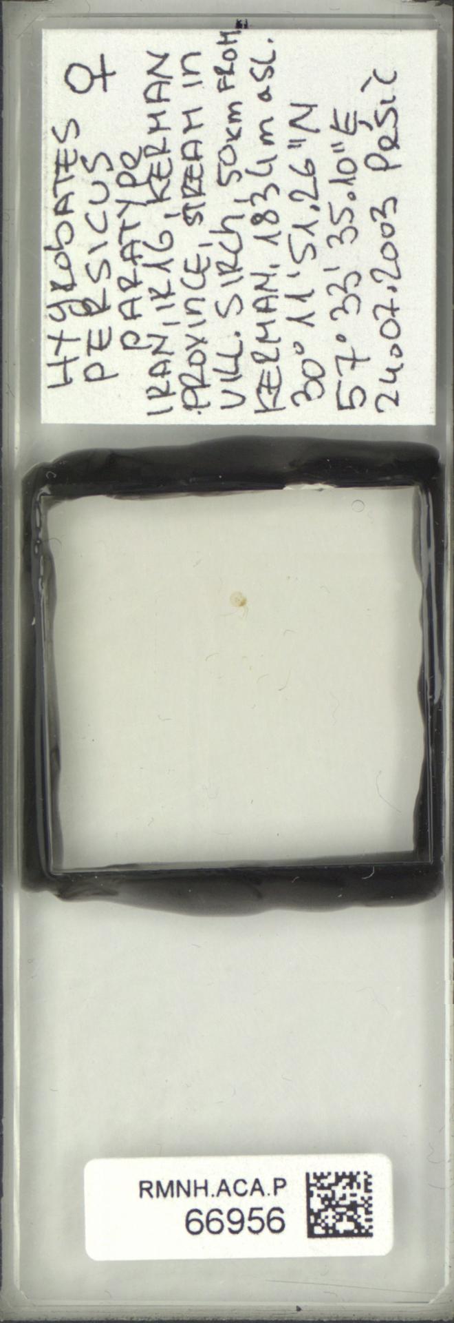 RMNH.ACA.P.66956 | Hygrobates persicus Pesic & Asadi 2017