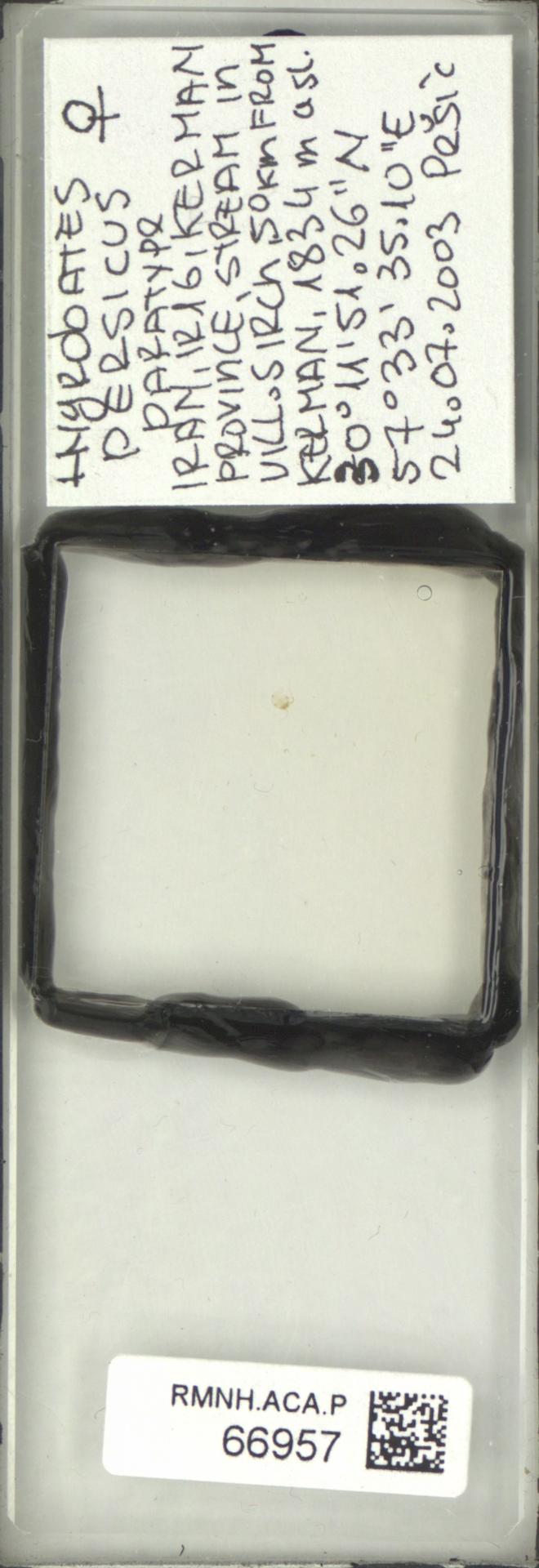 RMNH.ACA.P.66957 | Hygrobates persicus Pesic & Asadi 2017
