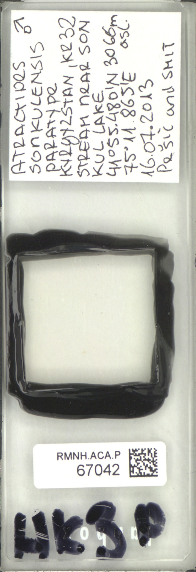 RMNH.ACA.P.67042 | Atractides sonkulensis Pešić & Smit, 2018